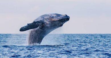La balena inghiotte un pescatore e lo risputa.